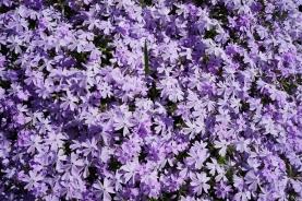 purple flowers_edited-1