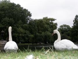 Swans_edited-1