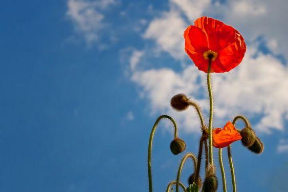 poppy-641423__480