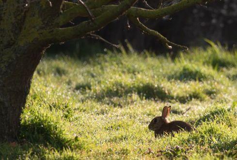wild-rabbit-in-clover-field-4992631__480